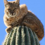 Bob Cat on a Saguaro